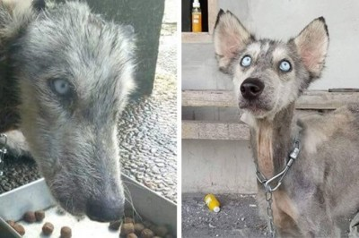 Man Rescues Abused Husky On The Brink Of Death, 10 Months Later Nobody Could Tell It's The Same Dog