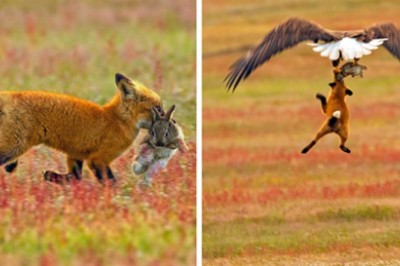 Incredible Battle Between Fox And Eagle Over Rabbit, Caught On A Series Of Intense Photos